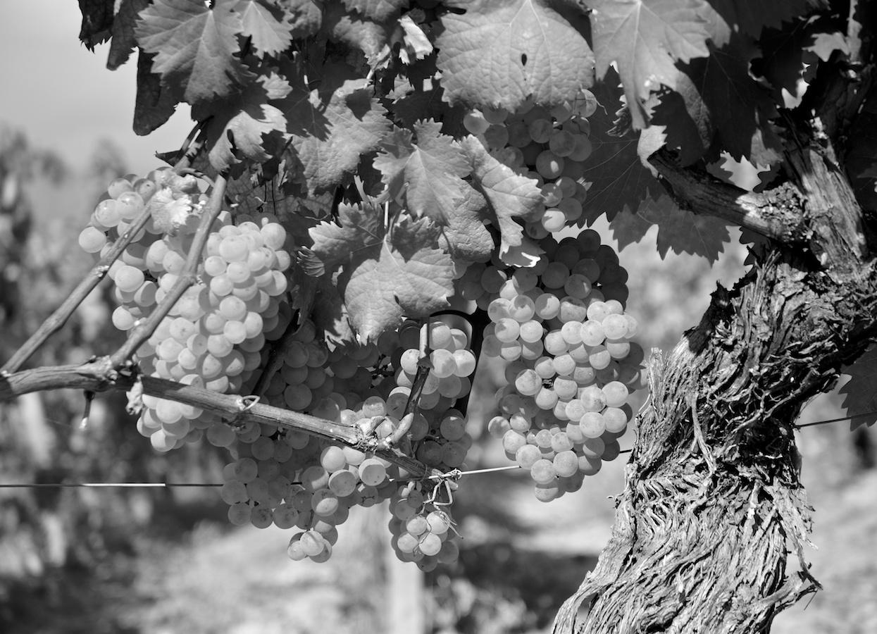 Fontanacota vigne